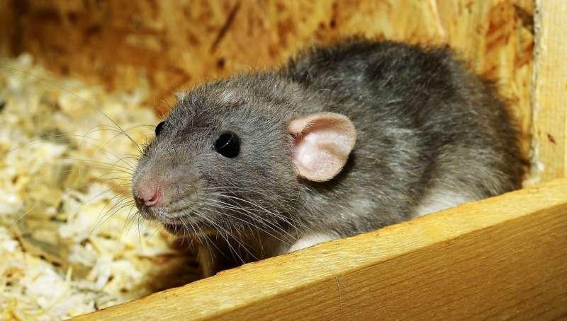 Интервальная тренировка высокой интенсивности улучшает пространственную память у крыс